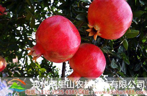 天津重庆突尼斯石榴树苗多少钱一棵