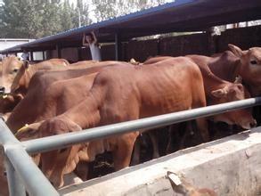聊城鲁西黄牛