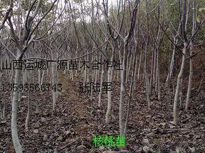 1米以上核桃苗山西广源苗木大量出售