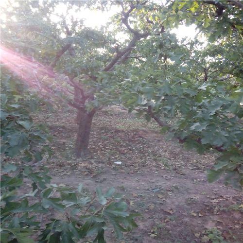 山西忻州山楂树 优质山楂树
