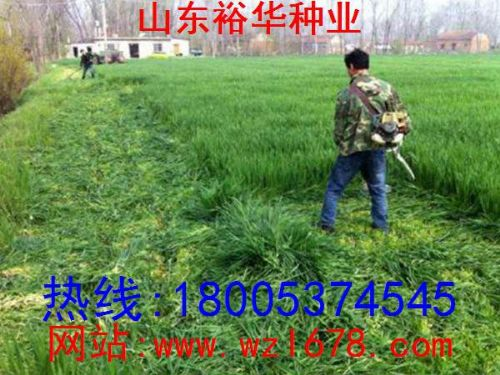 黑麦草种植与黑麦草种子价格