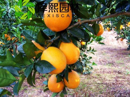 金华泽熙供应纽荷尔脐橙果树果苗批发