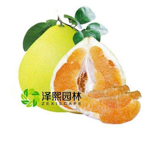 泽熙园林供应黄金蜜柚柚苗果树苗批发