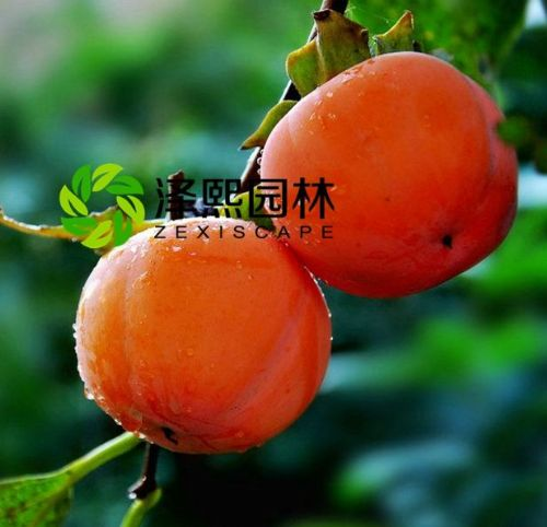 泽熙供应大红柿子果树果苗嫁接苗批发