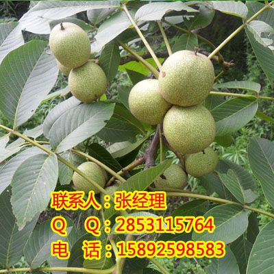 核桃树的炭疽病