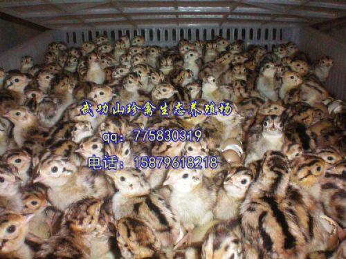 甘肃榆中县野鸡苗珍禽养殖基地/批发野鸡苗免费防疫