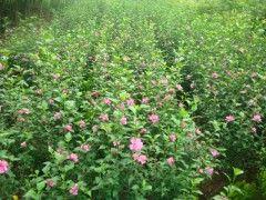 沈阳重瓣花卉木槿金丝桃海桐石榴红天竹幼苗销售