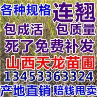 紫穗槐 刺槐苗 连翘苗 葡萄苗 枣树苗