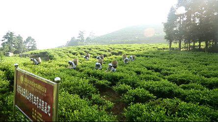 安化黑茶十大品牌之久扬茯茶