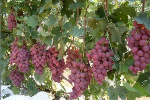 洛阳新乡鹤壁哪里有卖苹果树苗