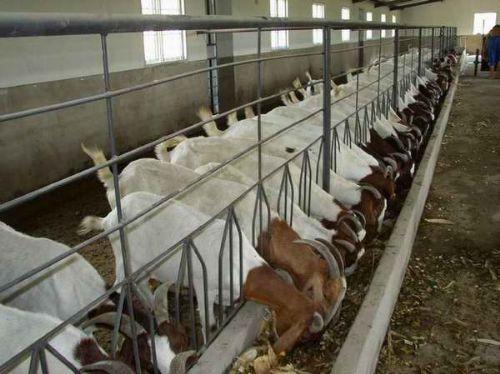 养羊市场前景广阔,长盛不衰,养羊绝对能致富!
