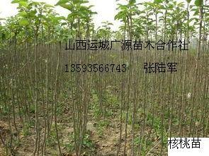 核桃实生苗大量出售
