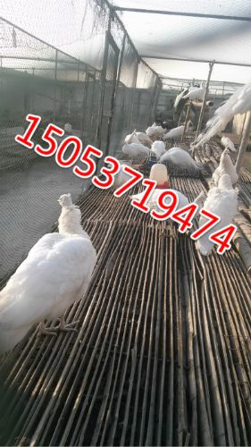 七彩山鸡好养吗,七彩山鸡养殖技术