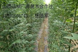 1公分以上国槐苗大量低价出售