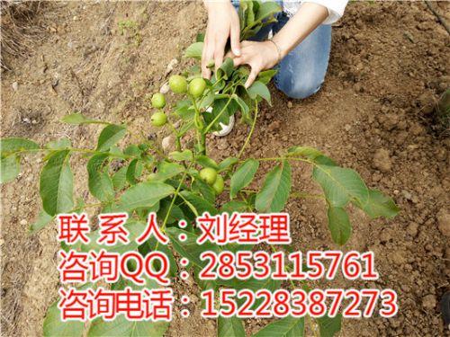 嫁接核桃树种植,哪里有好的核桃苗?