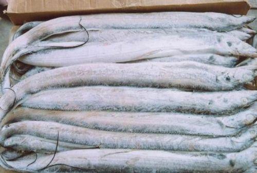 冷冻带鱼 进口带鱼批发 冷冻带鱼批发厂家
