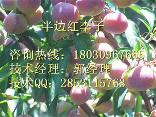 贵州嫁接李子苗公司贵阳市优质李子苗品种