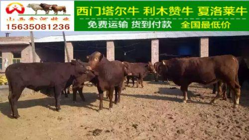 山西肉牛价格山西育肥牛价格山西架子牛肉牛的价格