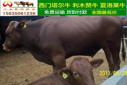 利木赞育肥牛