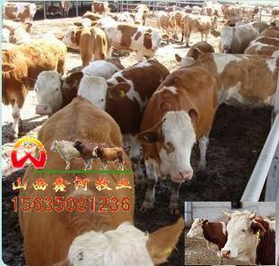 肉牛西门塔尔