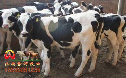 黑白花小奶公牛价格