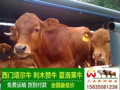 山西黄牛价格