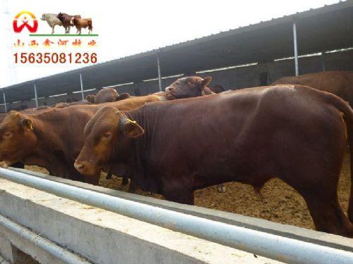 宁夏肉牛价格