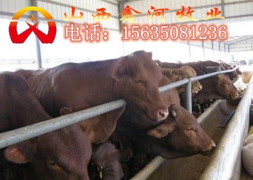 山西肉牛养殖