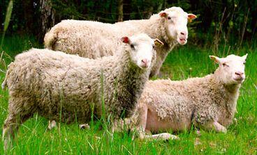 科恩柯母羊配合料优质反刍饲料