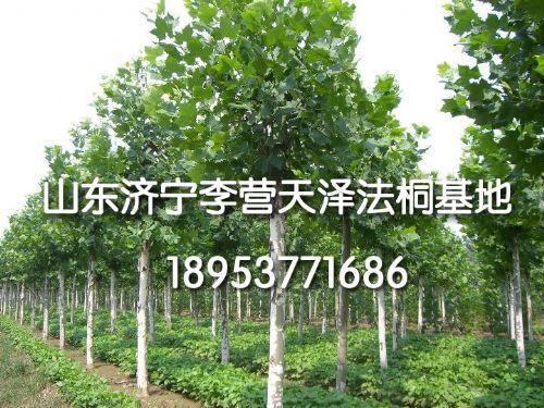 北京种植法桐树前景广阔2016hss0202