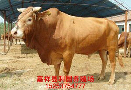 纯种鲁西黄牛种公牛价格