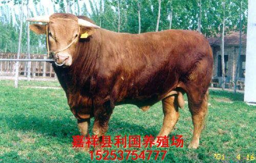 利国鲁西黄牛育肥牛养殖基地