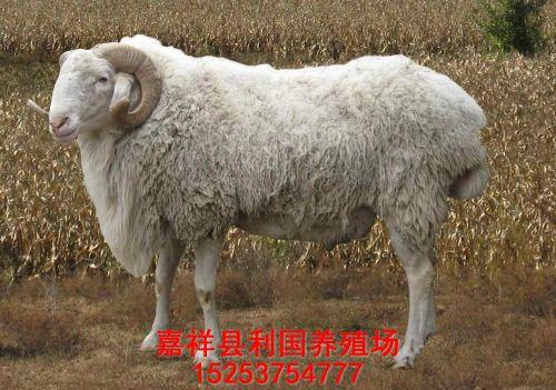 山东优质波尔山羊育肥羊供应
