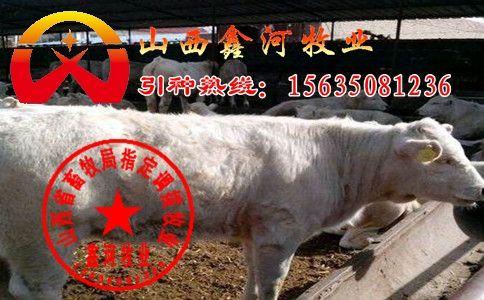 安徽重庆肉牛-山西鑫河 肉牛厂供应