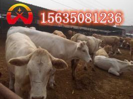 云南肉牛哪个品种好-选好品种肉牛找鑫河养牛场