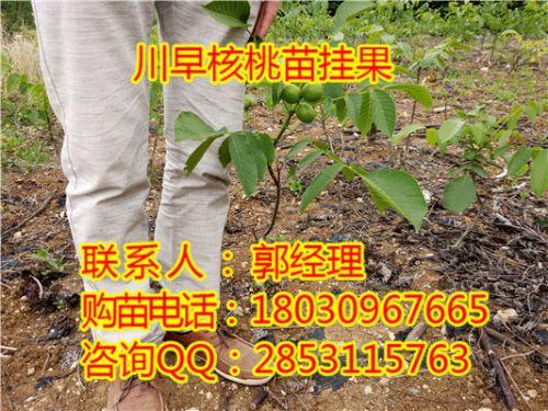 镇宁核桃苗,镇宁香玲核桃树,镇宁核桃苗种植