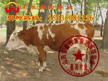 供应山西忻州肉牛基地肉牛市场肉牛品种价格咨询(图)