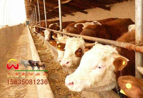 河南省牛犊供应西门塔尔供应利木赞供应黑白花(图)