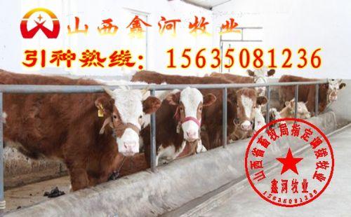 忻州市肉牛(图)