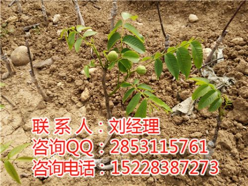 核桃苗品种,嫁接核桃树种植,哪里有好的核桃苗?