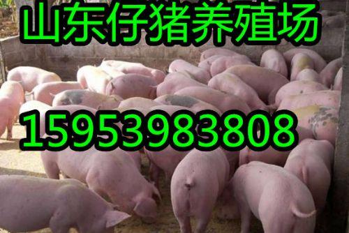 山东仔猪养殖基地 仔猪批发 小猪供应价格