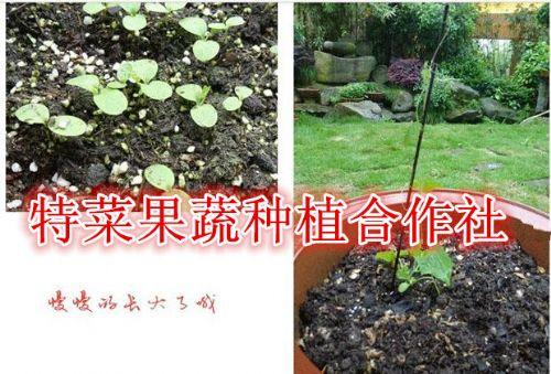 九月瓜种苗