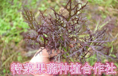 紫衣芥菜种子