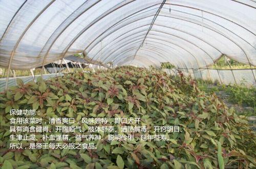 紫花菜种子