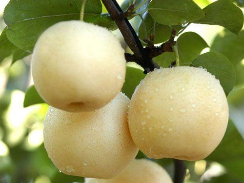 2016年新品优质梨树苗