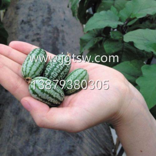 鄱阳直销特色水果拇指西瓜种子 提供佩普基诺种植技术
