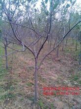 山楂树 梨树 苹果树