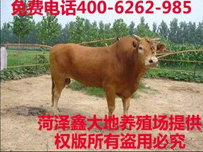 鲁西黄牛肉牛犊最新报价