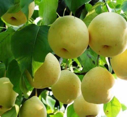 大量供应优质果树苗木