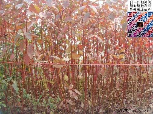 冬季观赏彩色苗木之红瑞木
